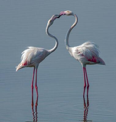 fenicotteri Hamad-Al-Kulaifi_Flamingos-7_QNTC