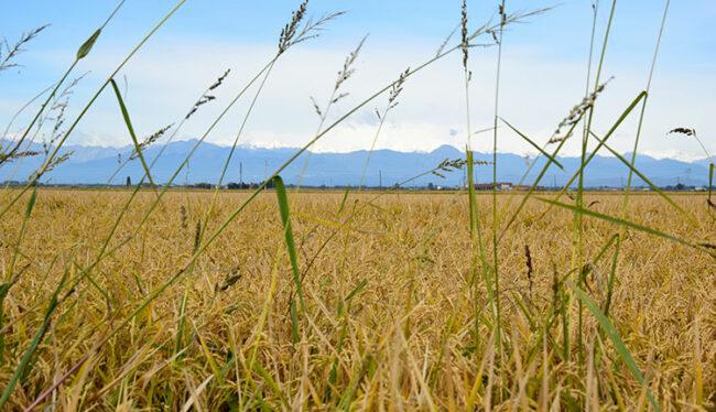 Campi di riso attorno alla Cascina Grampa (Ph © Dario Bragaglia-Mondointasca.it)