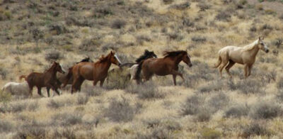 (Foto @ BLM Idaho)Idaho-Mustang-1