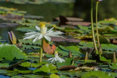Sigurta-fiori-sull-acqua