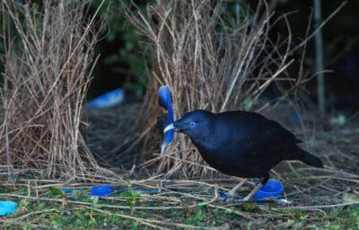 Uccelli giardinieri