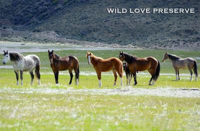 mustang Wild-Love-Preserv-ph-Andrea-Maki