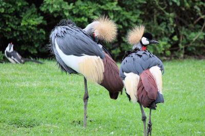 specie animali La danza delle gru
