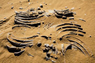 Ritrovamento di fossili cetacei