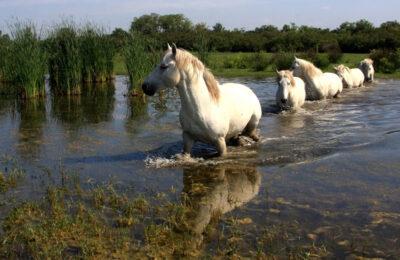 Cavalli-all'Isola-della-Cona