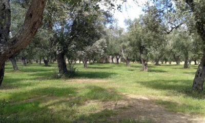 Ulivi-del-Salento