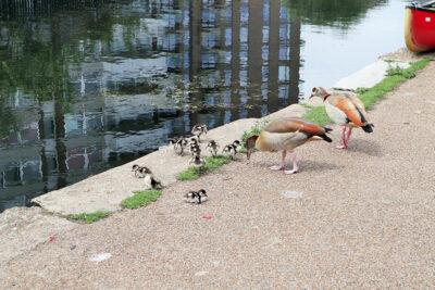 Regent's Canal Una famiglia di oche egiziane