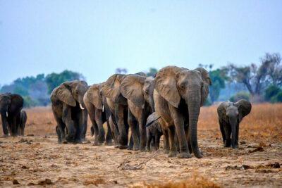 safari a piedi Zambia Elefanti-a-passeggio-ph-Jen-Pics