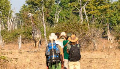 safari a piedi Giraffe-mangiano-indisturbate ph-Jen-Pics