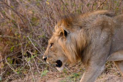 safari a piedi a caccia-del-leone-Jen-Pics