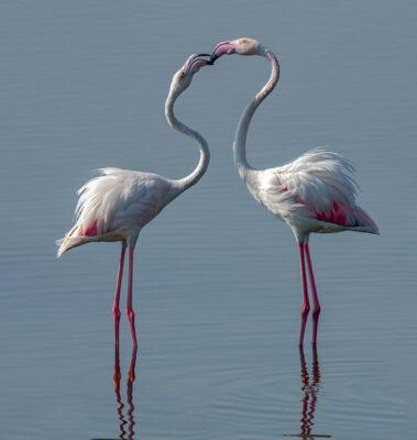 animali Flamingos, fenicotteri-a Hamad-Al-Kulaifi Qatar-Tourism