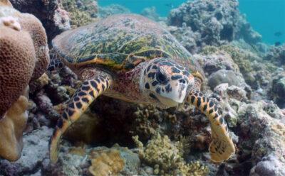 Hawksbill-sea-turtle-Courtesy-of-Mehsin-Al-Ansi-Al-Yafei