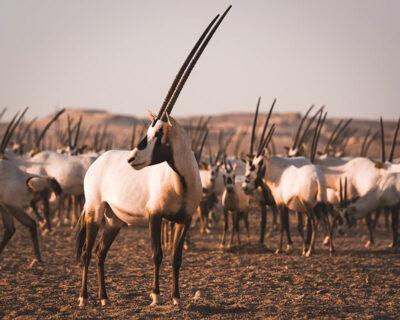 animali Orice-Ph-Azzam-Al-Mannai,-Qatar